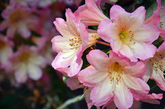 Beautiful pink rhododendron flowers Stock Photography