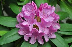 Beautiful pink rhododendron flowers Stock Photos