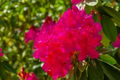 Beautiful pink rhododendron flowers in macro closeup, cultivated flowering bush, popular ornamental plant for the garden, nature. A beautiful pink rhododendron royalty free stock photography