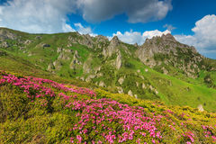 Beautiful pink rhododendron flowers in the mountains,Ciucas,Carpathians,Romania Stock Photography