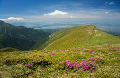 Beautiful pink rhododendron flowers in the mountains Royalty Free Stock Photo