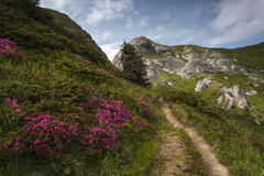 Beautiful pink rhododendron flowers on summer in Ciucas Mountain Stock Photography