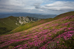 Beautiful pink rhododendron flowers on summer in Ciucas Mountain Royalty Free Stock Photos