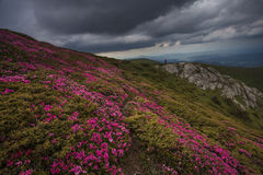 Beautiful pink rhododendron flowers on summer in Ciucas Mountain Royalty Free Stock Photo