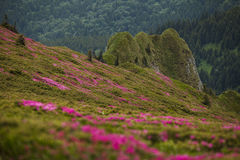 Beautiful pink rhododendron flowers on summer in Ciucas Mountain Stock Image