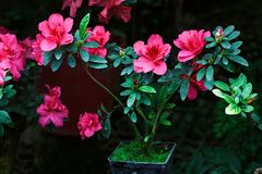 Beautiful pink rhododendron tree blossoms. Azalea in nature. Closeup Pink Desert Rose flower. Royalty Free Stock Images