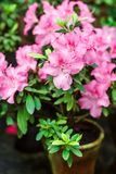 Beautiful pink rhododendron tree blossoms. Azalea in nature. Closeup Pink Desert Rose flower. Stock Image