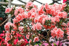 Beautiful pink rhododendron tree blossoms. Azalea in nature. Closeup Pink Desert Rose flower. Stock Images