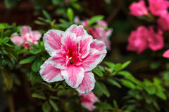 Beautiful pink rhododendron tree blossoms. Azalea in nature. Closeup Pink Desert Rose flower. Royalty Free Stock Photo