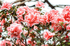 Beautiful pink rhododendron tree blossoms. Azalea in nature. Closeup Pink Desert Rose flower. Stock Photos