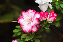Beautiful pink rhododendron tree blossoms. Azalea in nature. Closeup Pink Desert Rose flower. Royalty Free Stock Photos