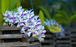 Beautiful pink Rhynchostylis gigantea orchid. Royalty Free Stock Image