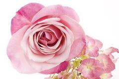 Beautiful Pink Rose Stock Image