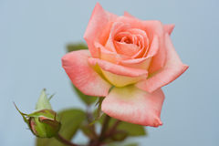 Beautiful pink rose Stock Photography