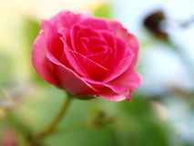 Beautiful pink rose. A shot of a beautiful pink rose in a garden royalty free stock photography