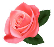 Beautiful pink rose. Stock Photo