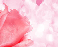 Beautiful pink Rose Royalty Free Stock Photos