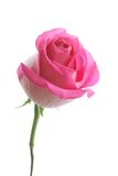 Beautiful pink rose Royalty Free Stock Image