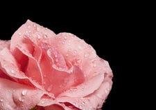Free Beautiful Pink Rose Stock Image - 33431571