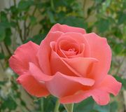 Beautiful Pink Rose. In a garden with blurred rose leaves against a wall in the background royalty free stock image