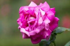 Beautiful pink rose Stock Photography