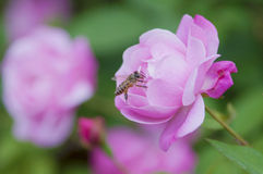 A beautiful pink rose and a bee gathering honey.  Royalty Free Stock Images