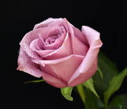 Beautiful pink rose. On a black background Stock Images