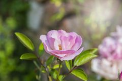 Beautiful pink rose  bloom Royalty Free Stock Photography