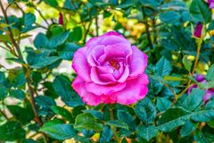 Pink Rose Blooming in Garden royalty free illustration