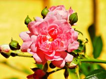 Beautiful Pink Rose. This is a Pink rose blooming in a yard of a home one summer day Stock Photos