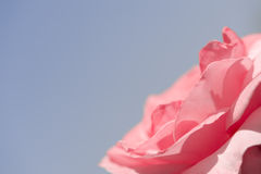 Beautiful pink rose on blue. Background in the corner. Copyspace Stock Photo