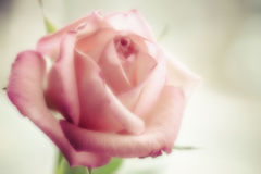 Beautiful pink rose Royalty Free Stock Photo