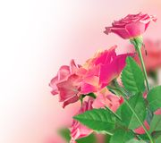Beautiful Pink Rose Border Royalty Free Stock Photos