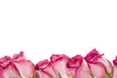 Beautiful Pink Rose Border Image with Copy Space Royalty Free Stock Photo