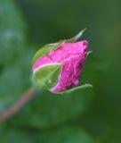 Beautiful pink rose bud Royalty Free Stock Photos