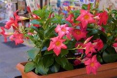 Rose bush, Spain stock image