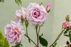 Beautiful pink rose bush. Royalty Free Stock Images