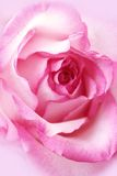 Beautiful, pink rose close up Stock Image