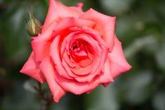Beautiful pink rose Royalty Free Stock Photo