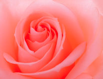 Beautiful Pink Rose Close up. Flower Background Stock Image