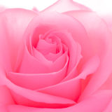 Beautiful Pink Rose Close up. Macro Flower Background Image Stock Photo