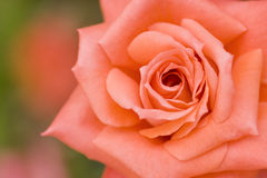 Beautiful pink rose  close up shoot Royalty Free Stock Photography