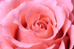 Beautiful pink rose, closeup Royalty Free Stock Photo