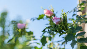Beautiful pink rose closeup and blue sky background Royalty Free Stock Photography