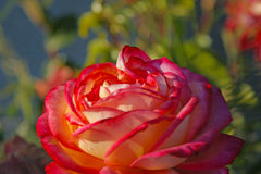 Beautiful pink rose closeup. Into green garden Royalty Free Stock Photos