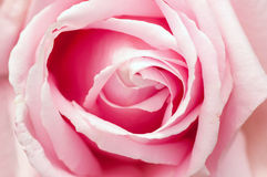 Beautiful pink rose closeup Stock Photography