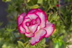 Beautiful pink rose closeup Royalty Free Stock Photography