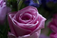 Beautiful Pink Rose. Conveying thoughtfulness, passion, sentiment, and packing contemporary colour punch, pink roses are the perfect type of rose for Stock Photography