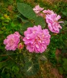 Beautiful pink rose sammer green stock photo