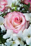 Big and beautiful pink rose stock photography